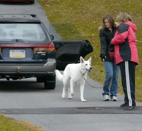 Image: Raiden, an internally reactive white shepherd works with Ali and Cheryl hand-targeting near the safety of his car.